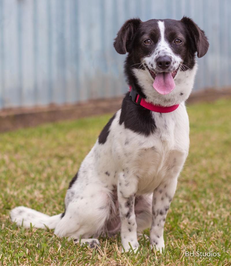 Adopt Chutney on Fox terrier, Border collies for sale