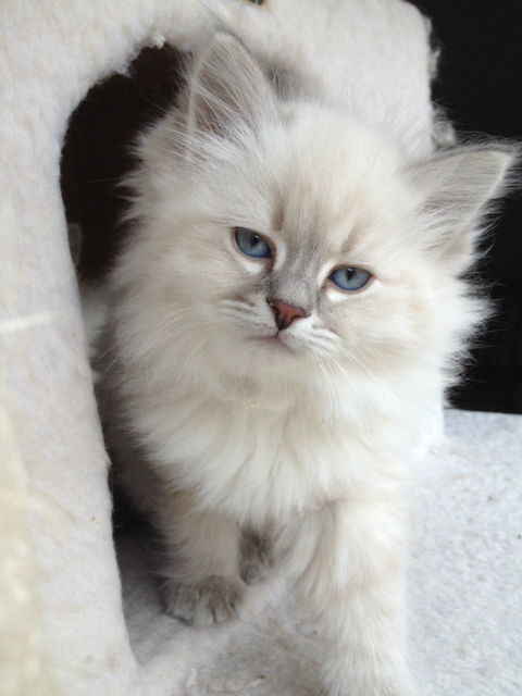 Hypoallergenic Siberian Cats And Siberian Kittens For Sale And