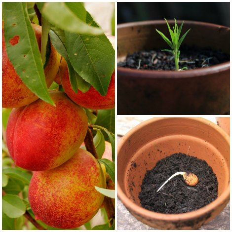 How To Grow Nectarines From Seed Homestead Survival Growing Vegetables Edible Garden Food Garden