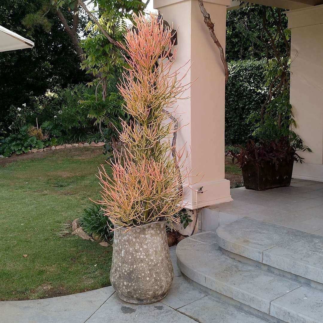 Private Client Residence #succulents #firestick #droughttolerantplants #waterwisegardening #conservation #green #gardenasart #landscapedesign #pottery #outdoorlife #landscapearchitecture #landscape #designs #plantpalettes #plans #gardendesigner #gardening #goodlife #nature #botany #lifestyle #liveauthentic by thegivinggame1merrileemarks #waterwise #waterwisegardening #drought #droughttolerant
