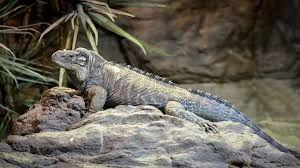 Blue Iguana For Sale : Iguana for sale iguanas for sale baby iguana iguana for sale