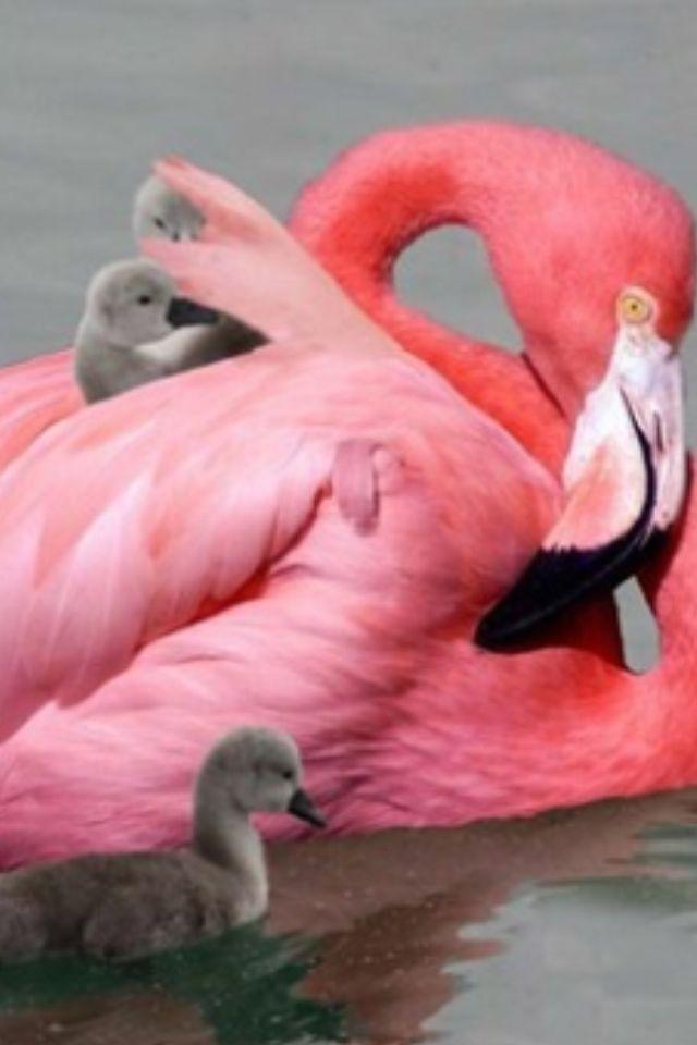 Flamingo met kuikens