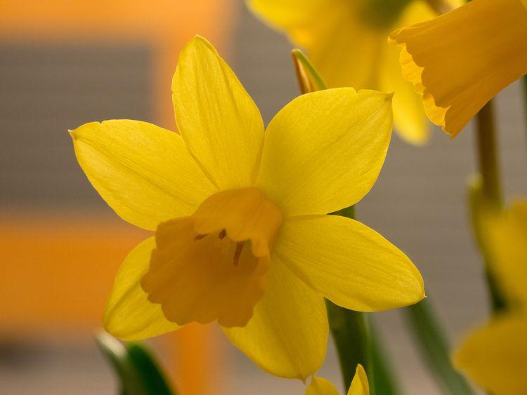 Wild Daffodil Narcissus Pseudonarcissus Daffodils Narcissus Wild