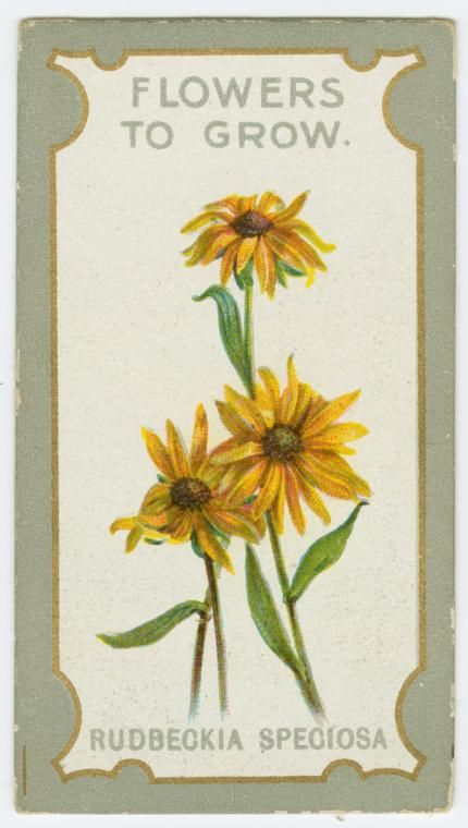 Rudbeckia speciosa. From New York Public Library Digital Collections.