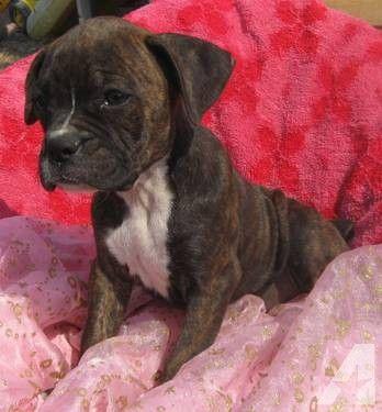 miniature+boxer+dogs Mini Boxer Puppy For Sale Fluffy