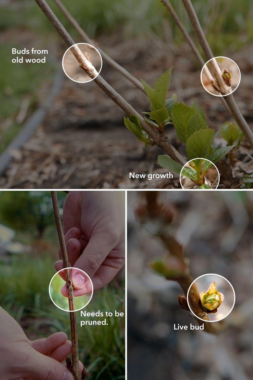 Spring Pruning Endless Summer Hydrangea Hydrangea Garden Garden Planning