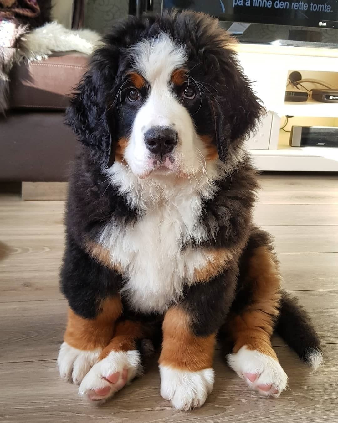 """Bernese Mountain Dog on Instagram: """"Post by : @bernerstyle ..."""