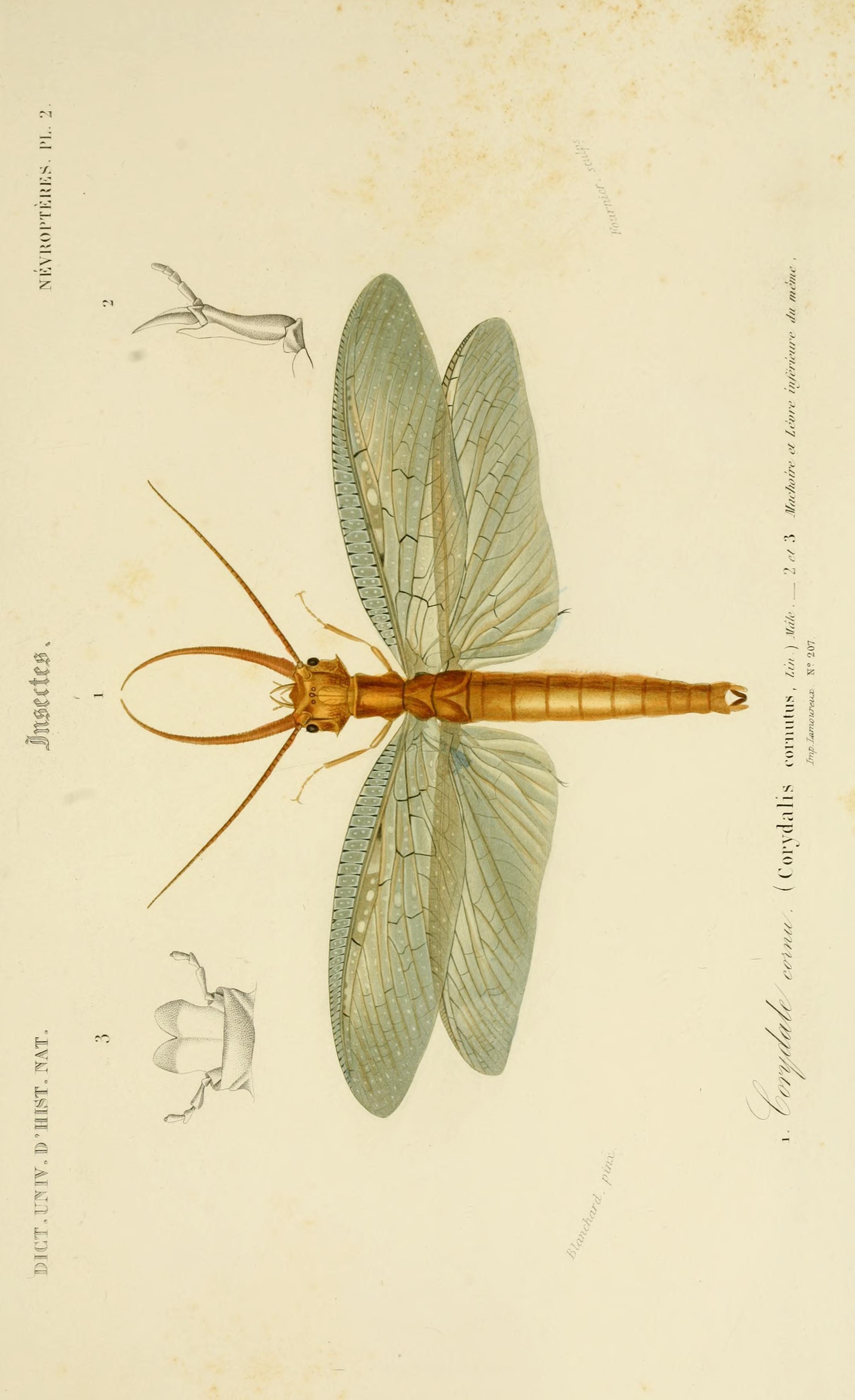 Dragonfly sketch- fastest predato in the Entomology world ...
