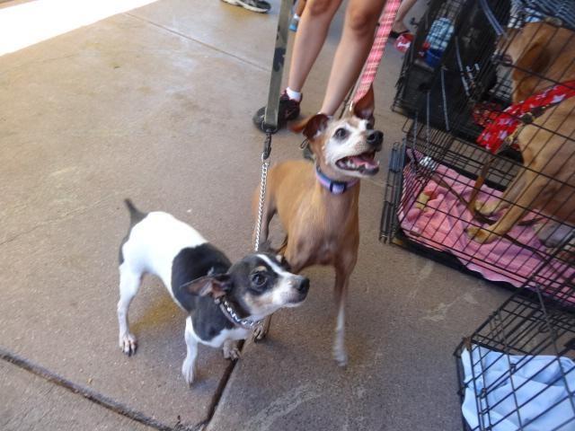 6/13/15-Meet Dusty & Mona, a Petfinder adoptable Jack ...