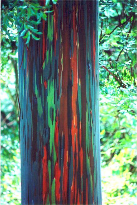 Rainbow Eucalyptus Nature S Painted Tree Rainbow Eucalyptus Tree Rainbow Eucalyptus Rainbow Tree
