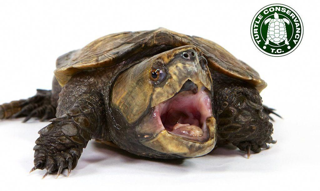 Critter of the week 17 bigheaded turtle critterfacts