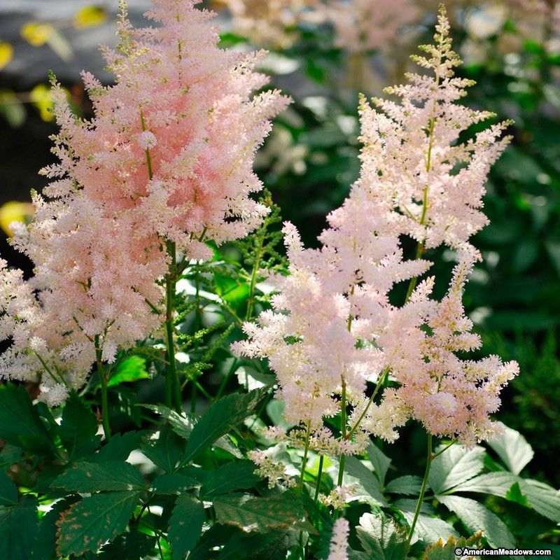 The Light Pink Panicles Of Europa Astilbe Add An Elegant Touch In Any Shady Garden Softly Held Above Fern Like Foliage I Astilbe Astilbe Arendsii Perennials