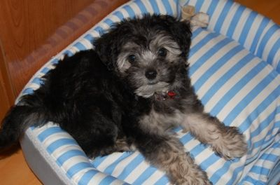 """""""Benji the Standard Schnoodle puppy at 8 weeks old. His ..."""