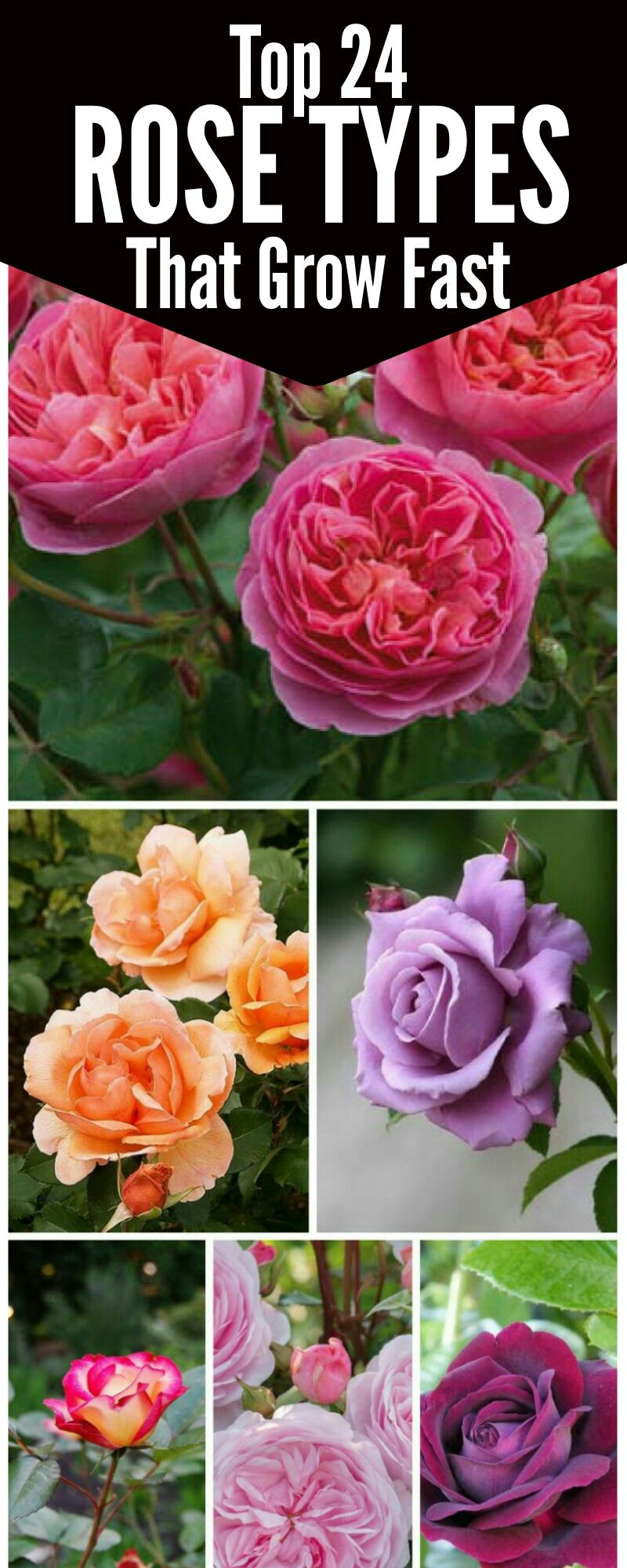 Top 24 Varieties Of Roses To Consider For Your Garden Types Of Roses Growing Roses Plants