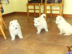 Puppies for Sale in Texas Pomsky Pomeranian Somoyed