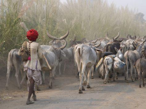 Cows on the Road, Delhi, India