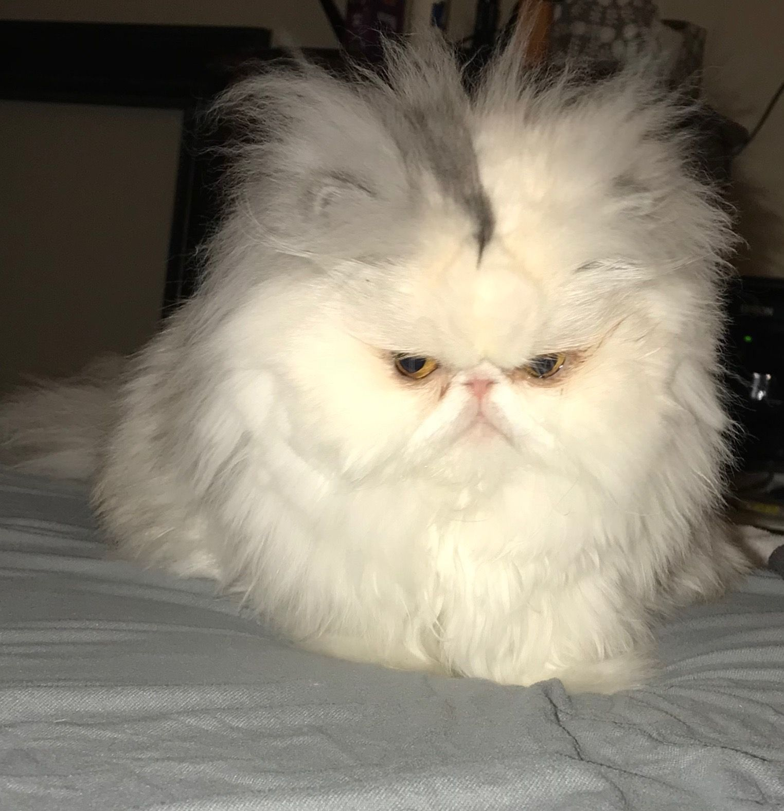 "Cats Having A Bad Hair Day: ""Oh No, It's Not A Bad Hair Day, It's A Bad EVERYTHING Day"