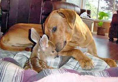 Download Rhodesian Ridgeback Brown Adorable Dog - b1f230a4ce55d6dfe5d50ce34167cf50  Photograph_943972  .jpg