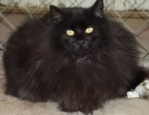 An Is Adoptable Domestic Long Hair Black Cat In Savannah Mo Hi Im I Was On The Street And Hungry Decided That Best Place To Get Food