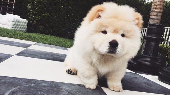 Justin Bieber S Criminally Fluffy Puppy Todd Has A New Instagram