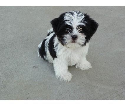 Dogs For Sale In Woodbridge New Jersey Yorkie Shih Tzu Mix Shorkie Puppies City Dog