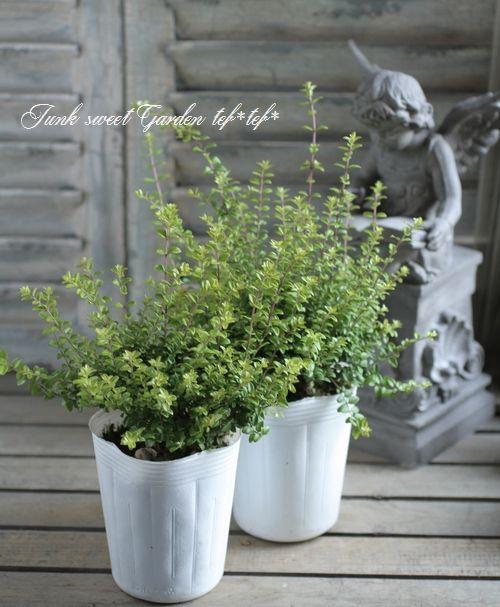 Photo of ロニセラ・ニティダ 『オーレア』-Junk sweet Garden tef*tef*