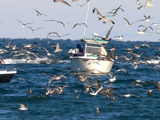 These Boats Followed The Birds To A Striper Blitz And Fishermen Are Now Catching Striped Bass The Birds Ar With Images Striped Bass Saltwater Fishing Sport Fishing Boats
