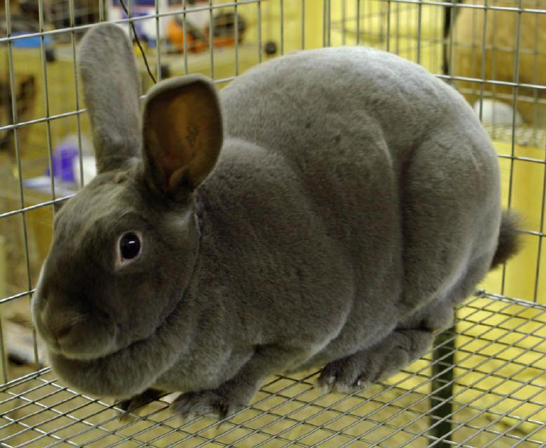 Rabbit Fat 77