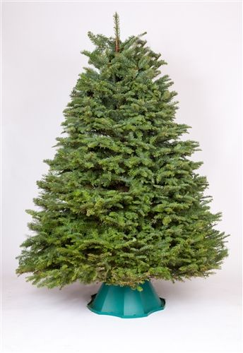 85 9 foot full noble fir christmas trees green valley christmas trees