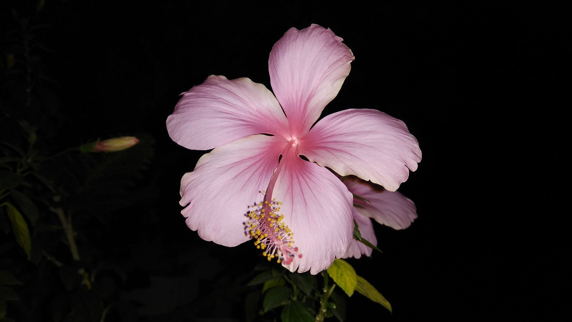 Pin By Kailynn Basham On Beauty Hibiscus Flowers Beautiful Flowers Hibiscus