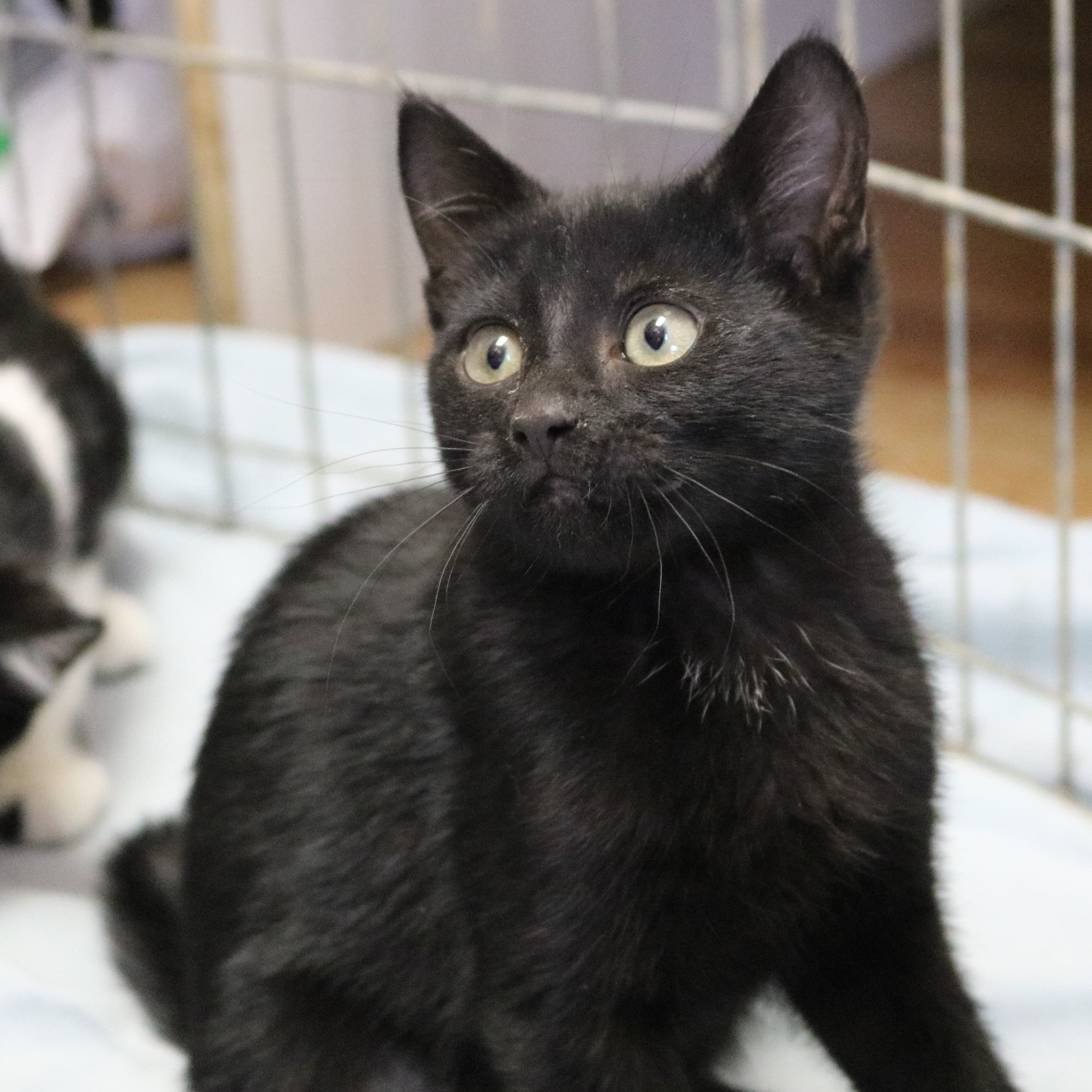 Meet Poi He Is A Male Kitten Who Is Super Friendly And Found A Purrrrrfect Family Cat Adoption Cats Cat Rescue