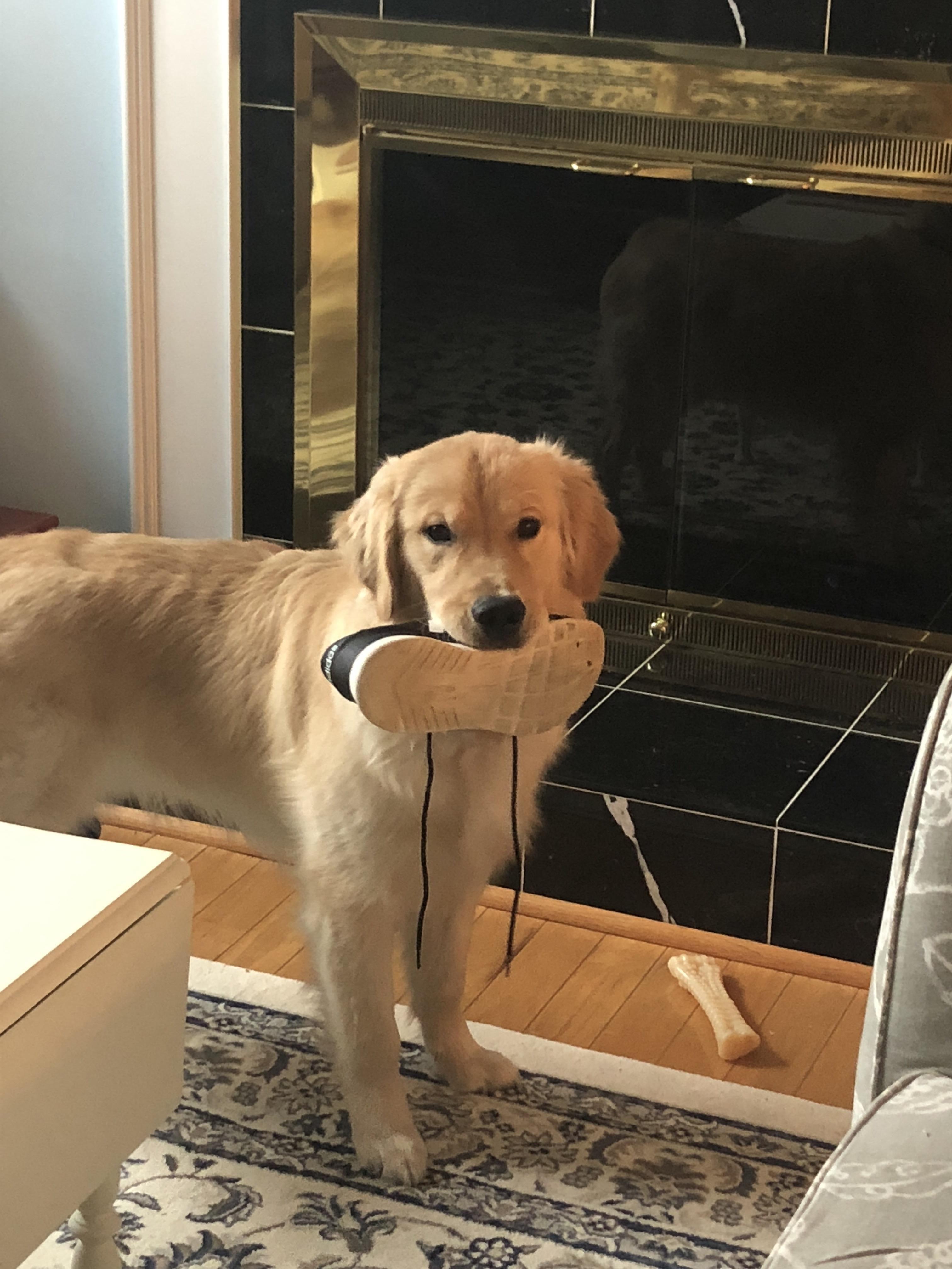 Always Stealing My Shoe Golden Retriever Dog Love Retriever