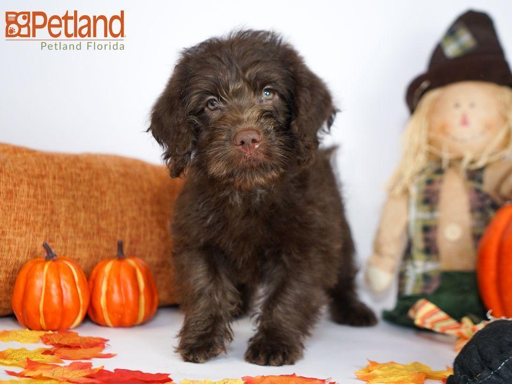 Petland Florida has Labradoodle puppies for sale! Check