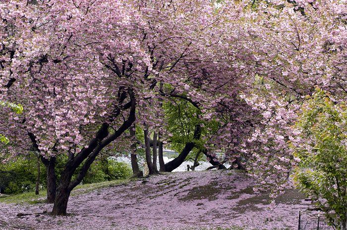 Pin By Barbara D Arte On Cherry Blossom Cherry Tree Tree Dream Garden
