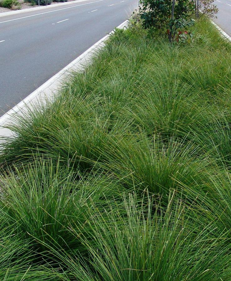 Lomandra Longifolia Breeze Dwarf Mat Rush California Native Plants