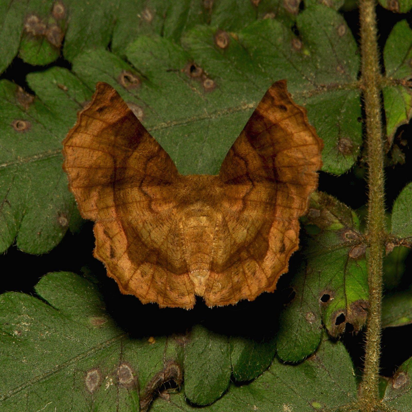 Geometrid Moth (perhaps Hyperythra Sp., Ennominae