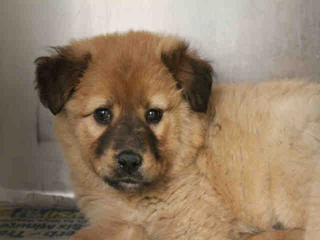 Awww A Sweet Shepherd Chow Puppy In Ga That Needs A New Home