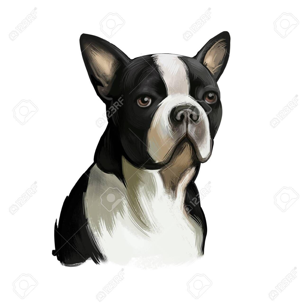 Boston Terrier Dog Breed Isolated On White Background Digital Art Illustration Boston Terrier Is A Compact Dog Portraits Boston Terrier Dog Terrier Dog Breeds