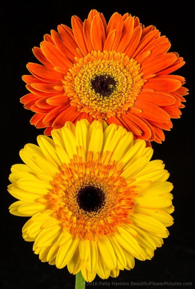 (Orange)Dune & (Yellow)Adventure Gerbera Daisies by Patty Hankins,Fine Art Floral Photographer.BeautifulFlowerPictues.com
