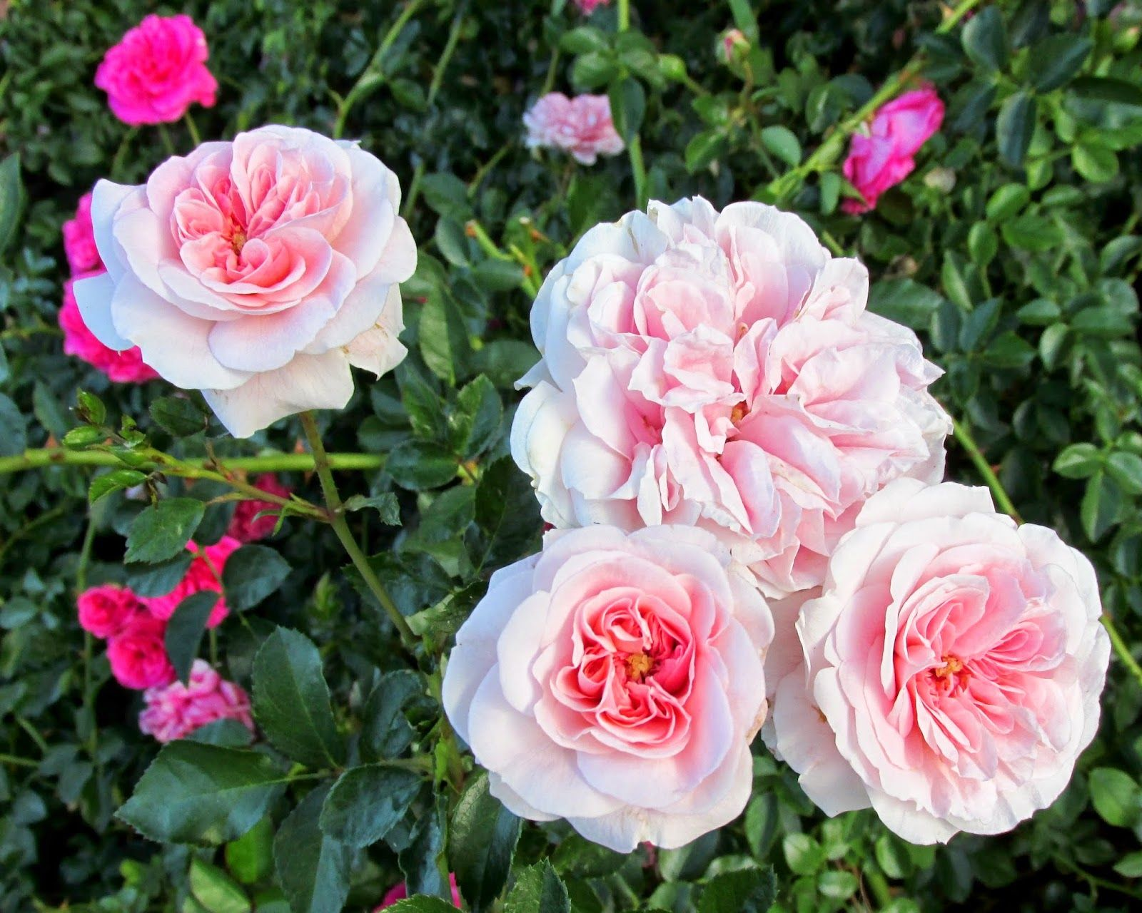 Love Garden Roses: My Granny Ludwig Rose