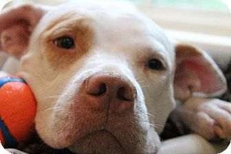 Hi I M Rosie Special Needs Has Video I Am Ready For My Forever Home I M A Sweet Spunky Small 45lb Happy Gir Kitten Adoption American Pitbull Terrier Pets