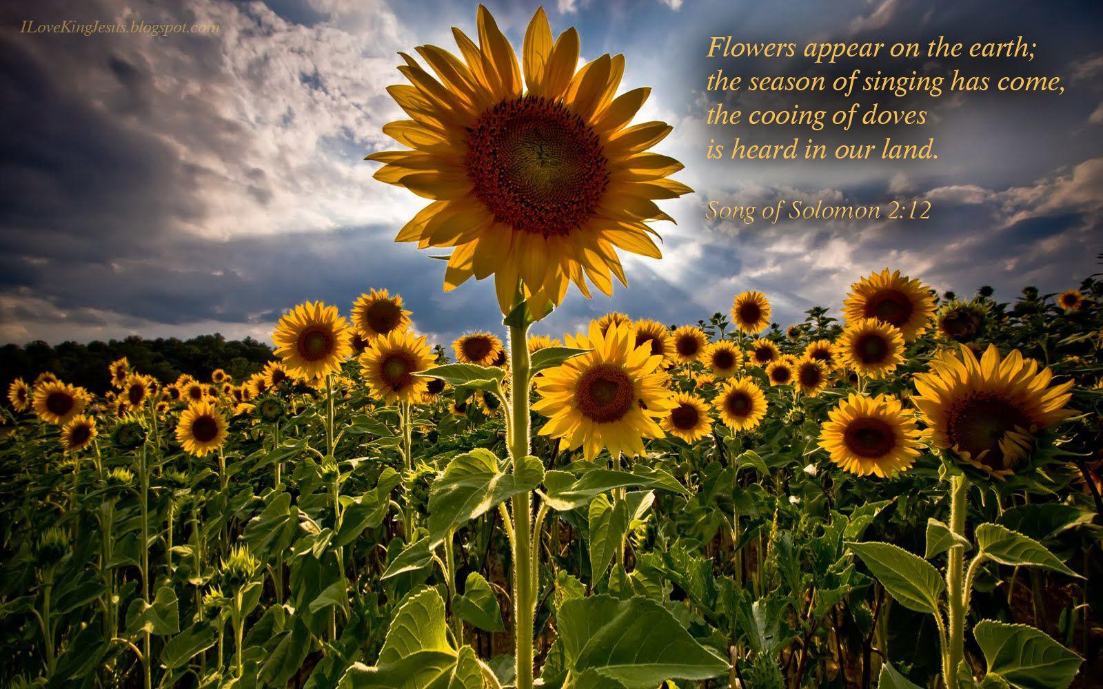 Hd Bible Verse Desktop Wallpapers Sunflower Fields Sunflower Wallpaper Flower Background Images