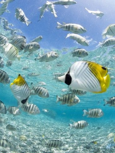 tropical fish in bora-bora lagoon photographic printmichele westmorland | ธรรมชาติสวยงามและ
