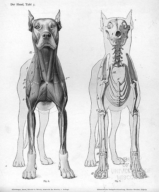 Der Hund Skeletons Anatomy And Dog Skeleton