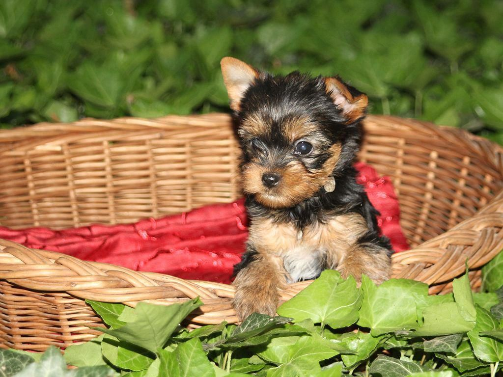 Bambi Is A Calm Cute And Cuddly Yorkshire Terrier Yorkshireterrier In 2020 Yorkshire Terrier Puppies Yorkshire Terrier Yorkshire Terrier For Sale