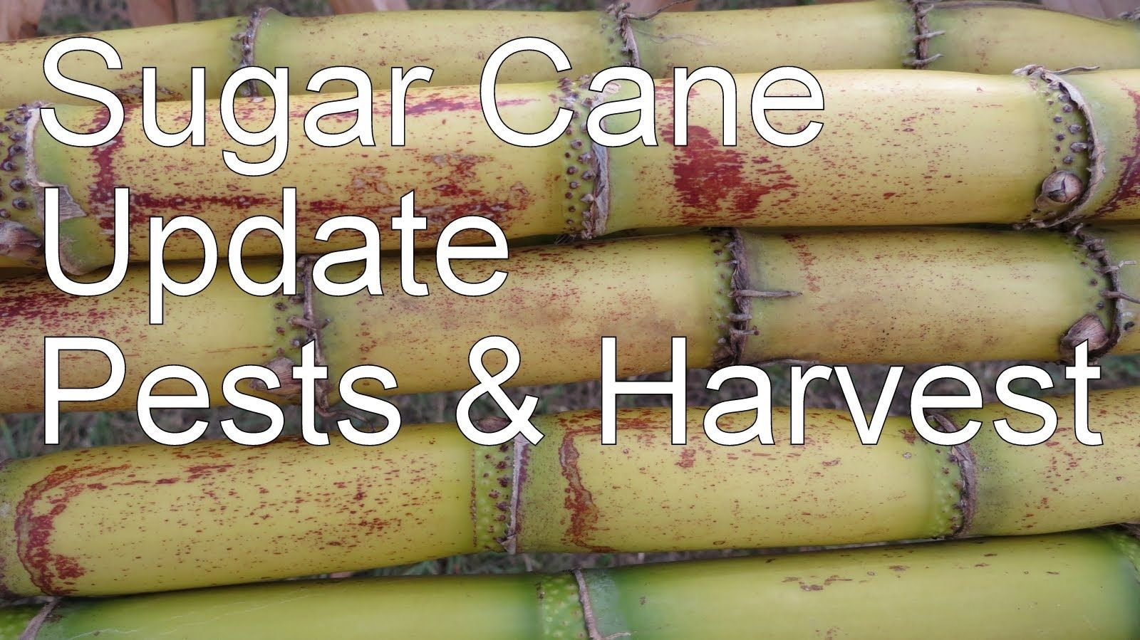 How to Grow Sugar Cane in Your Yard Part II, Update