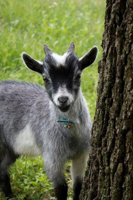 Chèvre ~ Goat