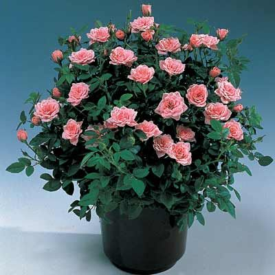 Guide For Growing Miniature Roses Indoors Miniature Rose Care Rose Care Growing Roses Planting Roses