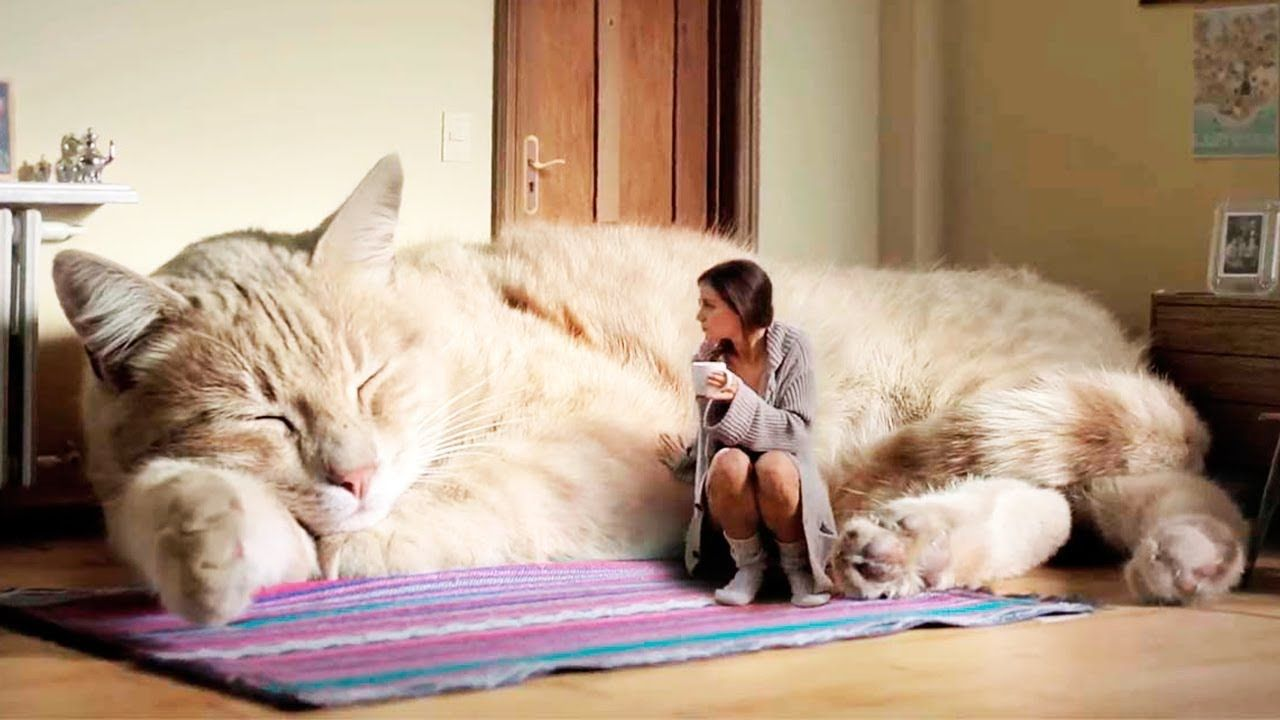 THE BIGGEST CATS In The World   Cats, Cat breeds, Large cats
