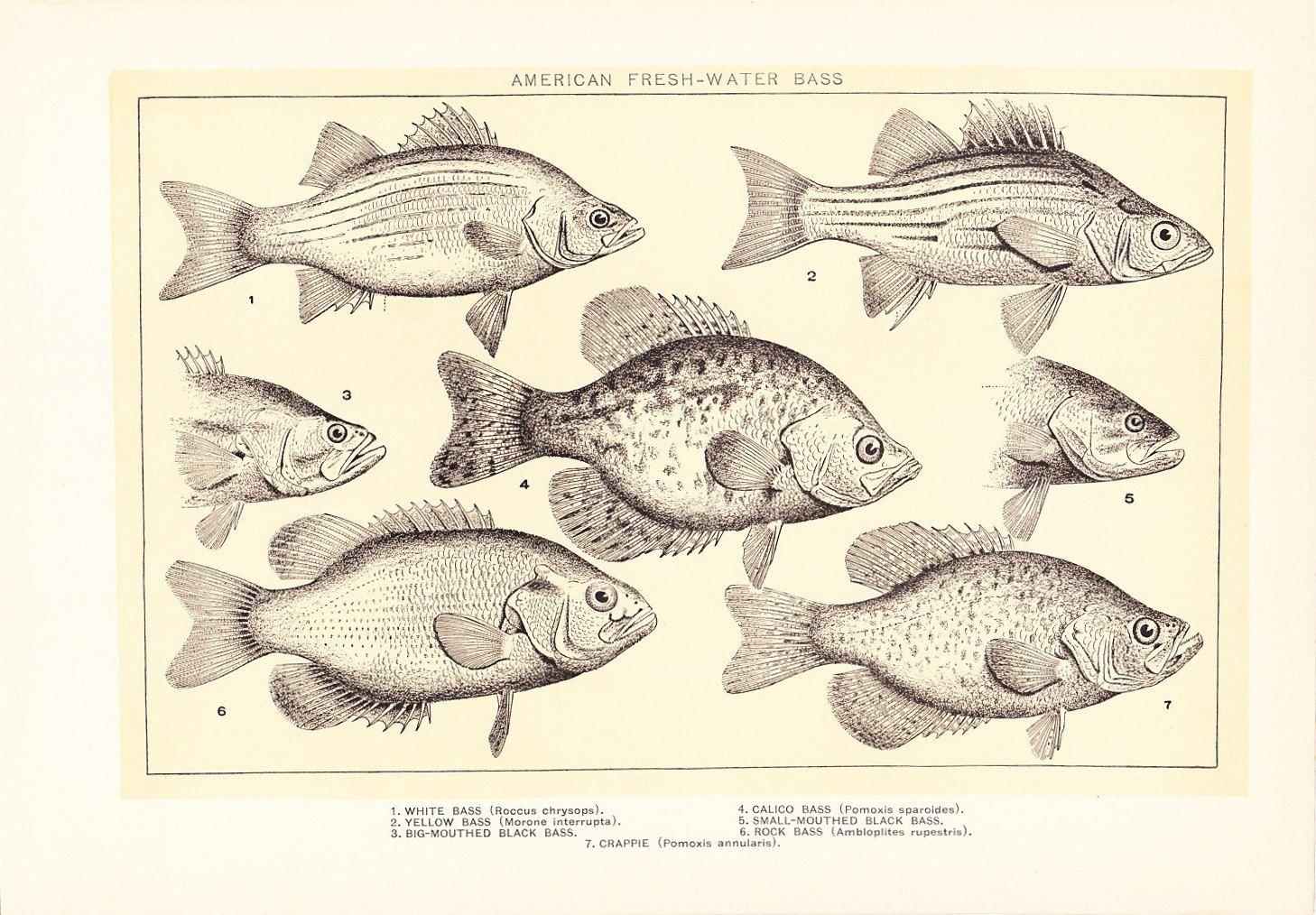 hand drawn fish diagram [ 1458 x 1014 Pixel ]